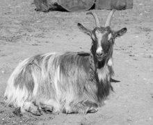 goat-332573_1920